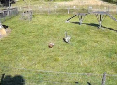 牧場に襲いかかる鷹